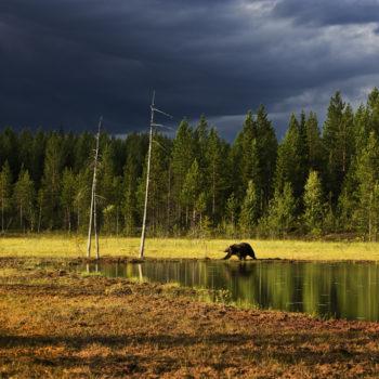 Brunbjörn vid myr i finland