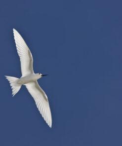 Fairly tern.Gygis alba. tärna på seychellerna