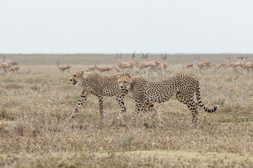 Fotokonst Jens C Hilner The Cheetah, Tanzania